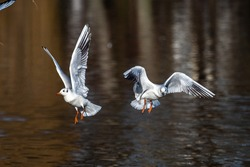 The European Herring Gull, Larus argentatus is a large gull, One of the best known of all gulls along the shores of western Europe. Here flying in the air.