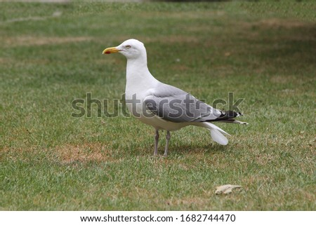 The European herring gull (Larus argentatus) is a large gull. One of the best known of all gulls along the shores of western Europe, it was once abundant.