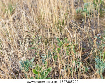 The European mantis, insect mantis in dry yellow grass #1327885202