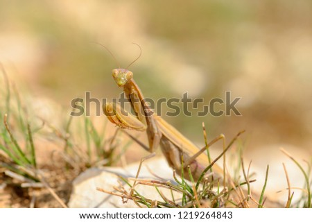 The European mantis, praying mantis or Mantis religiosa is a large hemimetabolic insect in the family of the Mantidae (mantids), which is the largest family of the order Mantodea (mantises). #1219264843