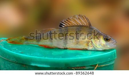 The european perch perca fluviatilis is a freshwater for Predatory freshwater fish
