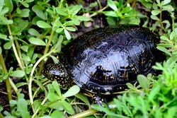 The European pond turtle also called the European pond terrapin and European pond tortoise, is a long-living freshwater speciesof turtle.