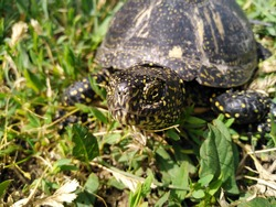 The European pond turtle (Emys Orbicularis) allso called commonly the European pond terrapin and European pond tortoise. Close up of head, eye and mouth. Balkan peninsula, Serbia