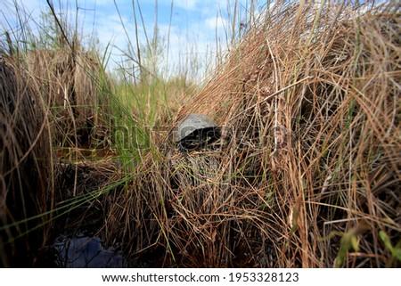 The European pond turtle in the reised bogs in Ukraine Stock foto ©