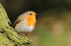 The European robin Erithacus rubecula