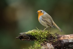 The European Robin (Erithacus rubecula), most commonly known in Anglophone Europe simply as the Robin, is a small insectivorous passerine bird that was formerly classed as a member of the thrush famil