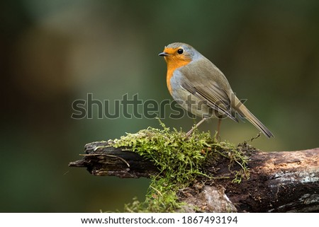 The European Robin (Erithacus rubecula), most commonly known in Anglophone Europe simply as the Robin, is a small insectivorous passerine bird that was formerly classed as a member of the thrush famil Zdjęcia stock ©
