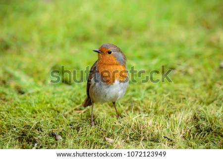 The European robin, known simply as the robin or robin redbreast in the British Isles, is a small insectivorous passerine bird, specifically a chat.