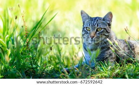 The European shorthair, also called the European or Celtic shorthair, is a breed originating in Europe, an elaborate way of referring to common European cats.