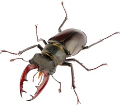 The European stag beetle Lucanus cervus male is species of stag beetle from family Lucanidae. Front view of male stag beetle Lucanus cervus isolated on white background.