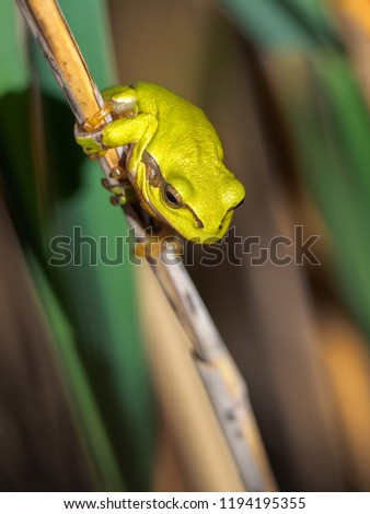 The European tree frog (Hyla arborea formerly Rana arborea) is a small tree frog found in Europe, Asia and part of Africa. Little green frog sitting on a stew of a reed.        #1194195355