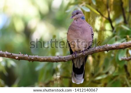 The European turtle dove (Streptopelia turtur) , Bird Captured in Sattal India Zdjęcia stock ©