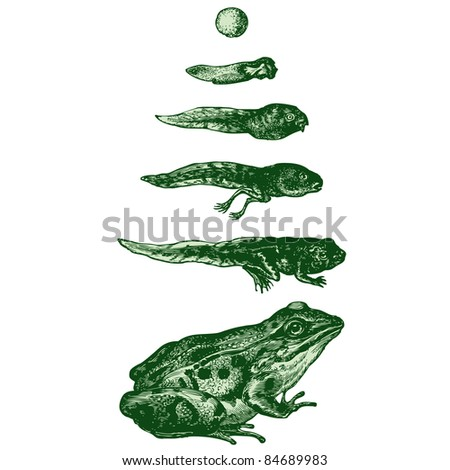The evolution of a tadpole into a frog - vintage engraved illustration