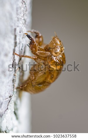 The exoskeleton of a cicada stuck on a tree in the rainforest of Tikal, Guatemala