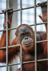 The expression of the Orang Utan in the Cage waiting to be fed