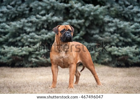 The exterior of the dog stand. Bullmastiff #467496047