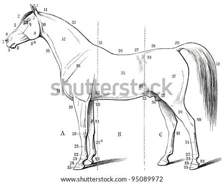 Free Photos Horse Anatomy