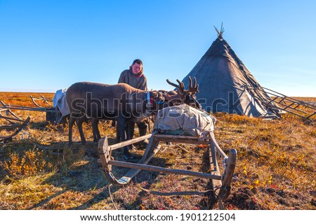 The extreme north, reindeer in Tundra, Deer harness with reindeer, young male reindeer herder