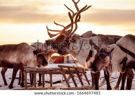 The extreme north, Yamal Peninsula,   reindeer in Tundra , Deer harness with reindeer, pasture of Nenets, Herd of reindeer in winter weather