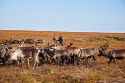 The extreme north, Yamal, reindeer in Tundra, Deer harness with reindeer, pasture of Nenets, male reindeer herders