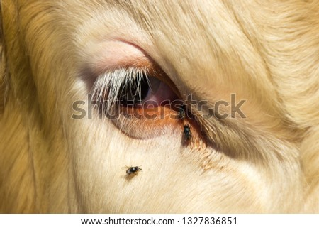 The eye of a cow is attacked by flies. Carriers of diseases.