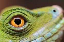 The eye of a Jesus Christ lizard (Basiliscus plumifrons)