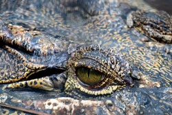 The Eye of Predator Croc Crocodile Alligator