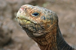 The eye of the tortoise - head of a giant Galapagos tortoise.