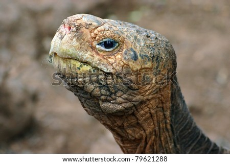 The eye of the tortoise - head of a giant Galapagos tortoise. - stock photo