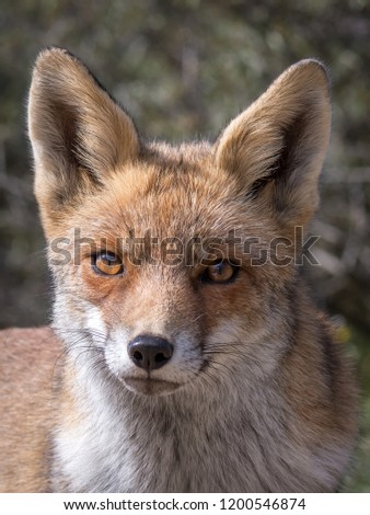The eyes of a red fox. Living in the dunes of the Netherlands (Amsterdamse waterleiding duinen).  #1200546874
