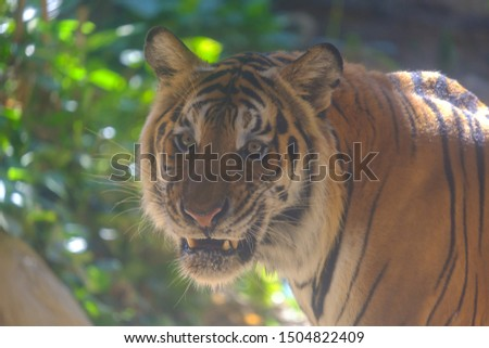 The eyes of a tiger staring fiercely forward. #1504822409