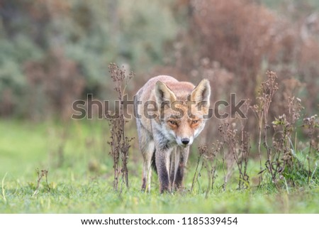 The eyes of a wild red fox living in the dunes. Netherlands. Full size photo!
