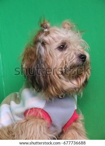 the eyes of cute  sad  dog    Photo stock ©