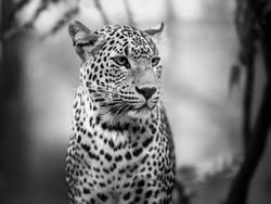 The eyes of of the leopard in black and white