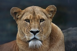 The Eyes of the Lioness