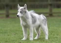 The fabulous Canadian Eskimo Dog