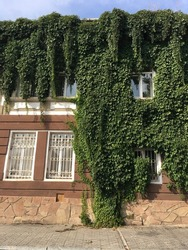 The facade of the old house is wrapped in grape leaves
