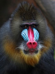 The face of a Mandrill 2