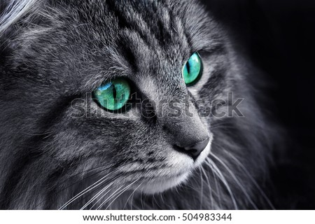 The face of a Norwegian Forest Cat with turquoise eyes