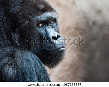 The face of an Orangutan. Bornean Orangutan (orang-utan, Pongo pygmaeus) portrait. - Shutterstock ID 1087938887