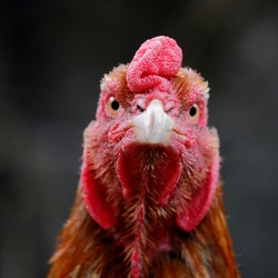 the face of the front of a rooster. Eyes, beaks and red-crested fighter chickens. close up rooster