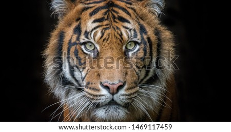 The face of tiger on the black background Foto stock ©