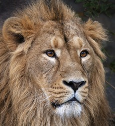 The face portrait of a calm Asian lion. The King of beasts, biggest cat of the world. The most dangerous and mighty predator of the world. Beauty of the wild nature.