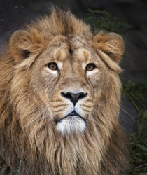 The face portrait of a calm lion. The King of beasts, biggest cat of the world. The most dangerous and mighty predator of the world. Beauty of the wild nature.