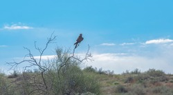 The falcon sits on a tree branch. The falcon is watching.