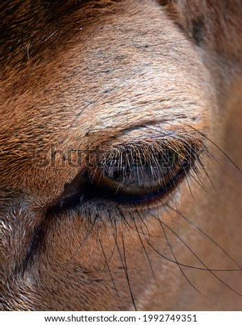 The fallow deer (Dama dama) eye is a ruminant mammal belonging to the family Cervidae. This common species is native to western Eurasia, Foto stock ©