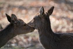 The fallow deer, Dama dama, is a ruminant mammal