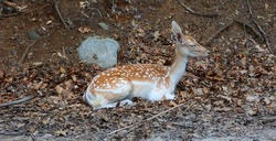 The fallow deer (Dama dama) is a ruminant mammal belonging to the family Cervidae. This common species is native to western Eurasia