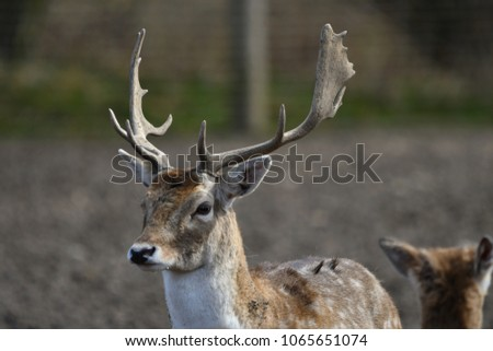 The fallow deer (Dama dama) is a ruminant mammal belonging to the family Cervidae. This common species is native to Europe #1065651074
