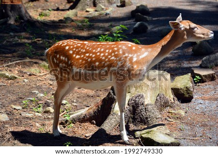 The fallow deer (Dama dama) is a ruminant mammal belonging to the family Cervidae. This common species is native to western Eurasia, Foto stock ©